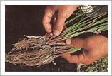 い草の栽培