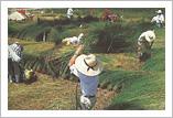 い草の刈取り